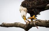 Eagle Eating Fish — Stock Photo
