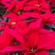 Stock Photo: Poinsettias