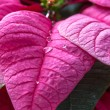 Poinsettias — Stockfoto