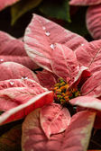 Poinsettias — Stock Photo
