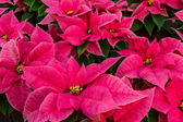 Poinsettias — Foto Stock