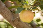 Orchards — Stok fotoğraf