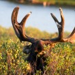 Moose — Stock Photo