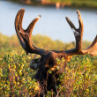 Moose — Stock Photo #33913233