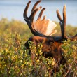 Moose — Stock Photo #33913237