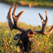 Moose — Stock Photo #33913253