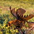 Moose — Stock Photo #33913355