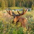 Moose — Stock Photo #33913415