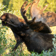 Moose — Stock Photo #33913711