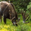 Moose — Stock Photo #33913755