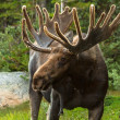 Moose — Stock Photo #33913897