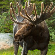 Moose — Stock Photo #33913915