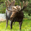 Moose — Stock Photo #33914437
