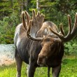 Moose — Stock Photo #33914467