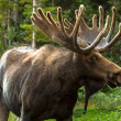 Moose — Stock Photo #33914615