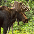 Moose — Stock Photo #33914739