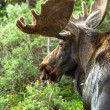 Moose — Stock Photo #33914827