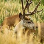 Mule Deer — Stock Photo #33915051