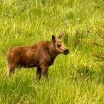 Moose Calf — Stock Photo