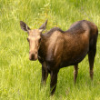 Moose Cow — Stock Photo #33923851
