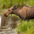 Moose Cow — Stock Photo