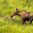 Moose Cow — Stock Photo #33924007