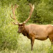Elk Bull — Stock Photo