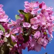 Crabapple Trees Blooming — Stock Photo