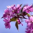 Stock Photo: Crabapple Trees Blooming