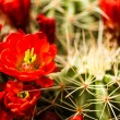 Stock Photo: Barrel Cactus Flowers