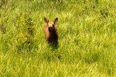Moose Calf — Foto Stock