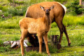 Elk Baby — Stock Photo