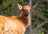 Elk Baby — Stock Photo