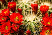 Barrel Cactus Flowers — Stock Photo