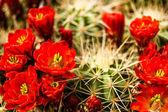 Barrel Cactus Flowers — Stock Photo