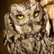Western Screech Owl — Stock Photo