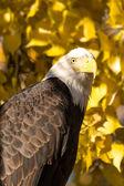 águia careca americana — Fotografia Stock