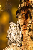 Western Screech Owl — Stock Photo