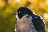 Peregrine Falcon — Stock Photo