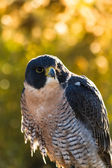 Peregrine falcon — Stok fotoğraf