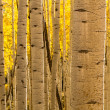 Stock Photo: Aspen Tree Trunk Forest