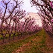 Постер, плакат: Blooming Peach Orchards in Palisades CO