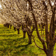 Постер, плакат: Peach and Apple Orchards in Spring Bloom