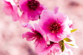 Peach Orchards in Spring Bloom — Stock Photo