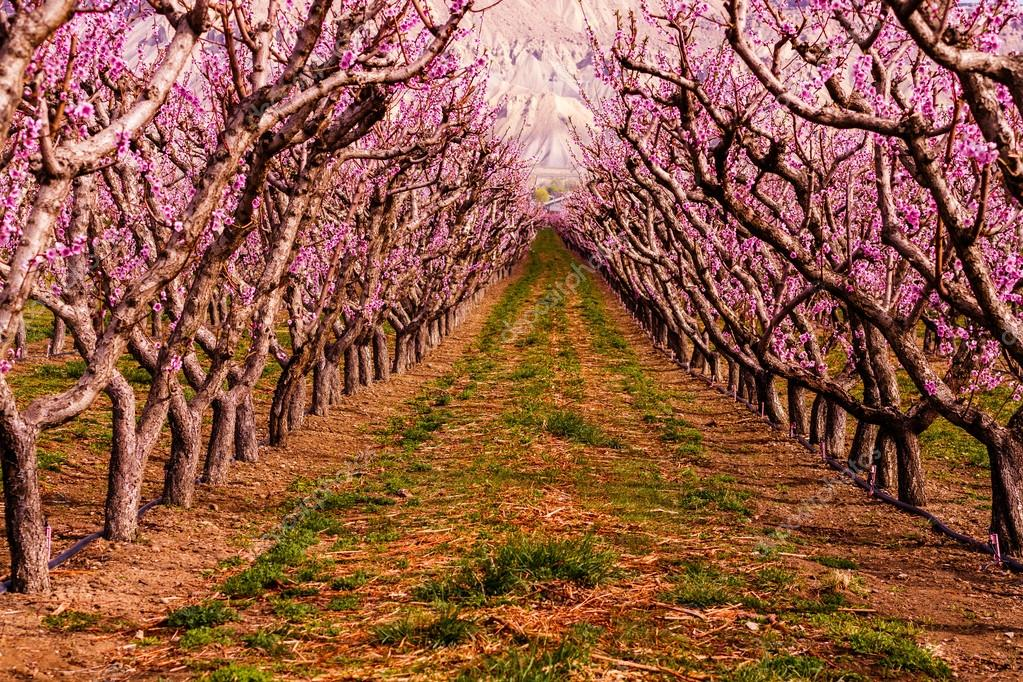 peach orchard chatrooms Peach blossom cottage spring blossom peach blossoms blossom trees bicyclettes cherry tree cherry blossom flowers  spring blossoms and bike rides through the orchard isn't spring just great flowers are blooming in bicycle baskets  jack kerouac be in love with your life kostenlose online chatrooms mit wahrsagern 104.