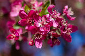 Crab Apple Trees in Spring Bloom — Stock Photo