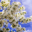 Постер, плакат: White Crab Apple Trees in Spring Bloom