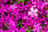 Blooming Pink and White Phlox Flowers — Stock Photo