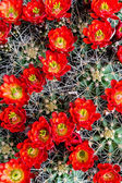 Blooming barrel cactus with red blooms — Stock Photo