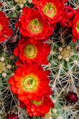 Blooming barrel cactus with red blooms — 图库照片